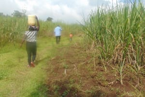 The Water Project: Mukangu Community, Metah Spring -  Sugarcane Plantations