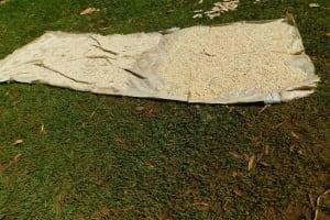 The Water Project: Ewamakhumbi Community, Mukungu Spring -  Grains Drying