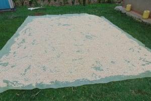 The Water Project: Bukhaywa Community, Ashikhanga Spring -  Maize Drying