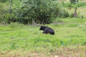 The Water Project: Kalenda B Community, Lumbasi Spring -  Cow Resting