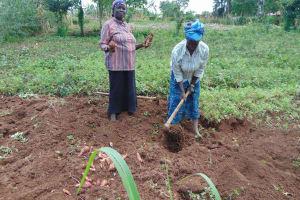 The Water Project: Bukhaywa Community, Ashikhanga Spring -  Harvesting Sweet Potatoes