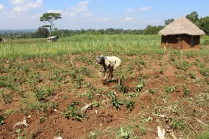 The Water Project: Kalenda A Community, Webo Simali Spring -  Mrs Robai Wambulwa In Her Farm