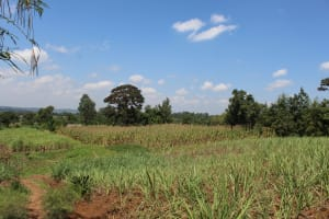 The Water Project: Kalenda A Community, Webo Simali Spring -  Sugarcane And Maize Fields