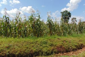 The Water Project: Musiachi Community, Mutuli Spring -  Maize