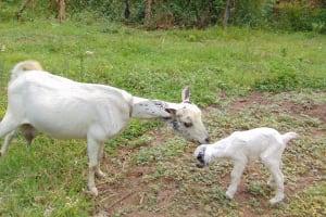 The Water Project: Mubinga Community, Mulutondo Spring -  Goats