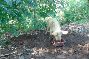 The Water Project: Maondo Community, Ambundo Spring -  Pig