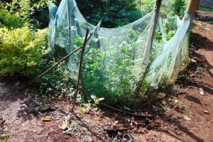 The Water Project: Rosterman Community, Lishenga Spring -  Kitchen Garden
