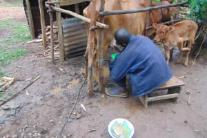 The Water Project: Rosterman Community, Lishenga Spring -  Milking Cow