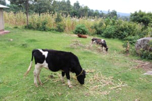 The Water Project: Imbinga Community, Imbinga Spring -  Livestock