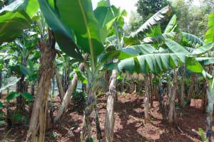 The Water Project: Jivovoli Community, Magumba Spring -  Bananas