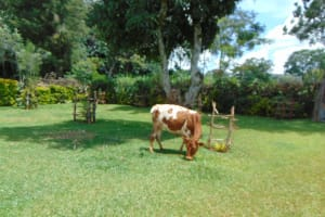 The Water Project: Jivovoli Community, Magumba Spring -  Cow Grazing