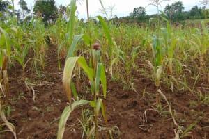 The Water Project: Buyangu Community, Mukhola Spring -  Maize