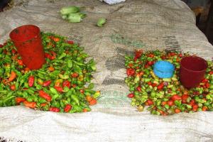The Water Project: Lungi, Masoila, #3 Kamara Street -  Peppers For Sale