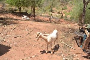 The Water Project: Kangalu Community C -  Goat