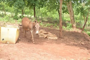 The Water Project: King'ethesyoni Community A -  Donkey
