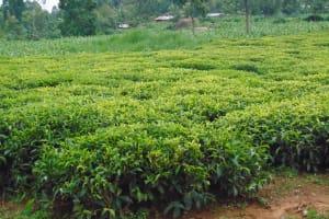 The Water Project: Kapsegeli KAG Primary School -  Surrounding Tea Plantation