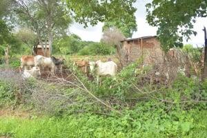 The Water Project: Kathamba ngii Community C -  Cattle Pen