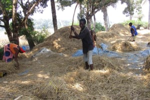 The Water Project: Lokomsama, Lumpa Wallah Village -  Family Members Removing Rice Seed From The Stem