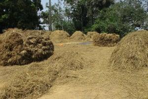 The Water Project: Lokomsama, Lumpa Wallah Village -  Rice Seed Set For Processing