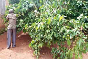 The Water Project: Rubona Kyawendera Community -  Coffee Trees