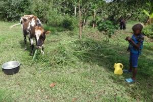 The Water Project: Mahira Community, Jairus Mwera Spring -  Child Watches Cow Grazing
