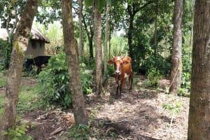 The Water Project: Mahira Community, Litinyi Spring -  Cow Grazing