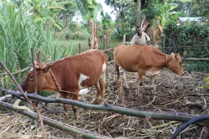 The Water Project: Mukhonje Community, Mausi Spring -  Cows In Their Pen