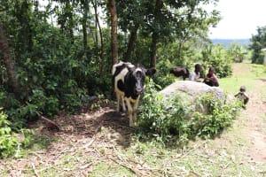 The Water Project: Mahira Community, Litinyi Spring -  Cows Grazing