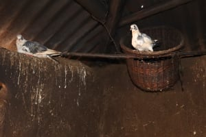 The Water Project: Harambee Community, Elijah Kwalanda Spring -  Pigeons Reared In A Kitchen