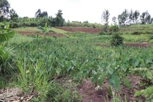 The Water Project: Mahira Community, Litinyi Spring -  Arrowroot Farm