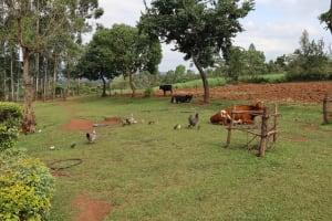 The Water Project: Harambee Community, Elijah Kwalanda Spring -  Animals Grazing In Open Field