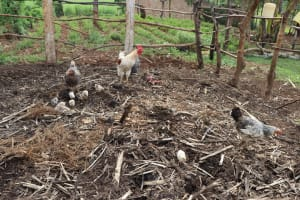 The Water Project: Harambee Community, Elijah Kwalanda Spring -  Chickens Peck At The Garbage Disposal Point
