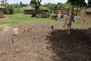 The Water Project: Mukhuyu Community, Chisombe Spring -  A Cow In The Shade