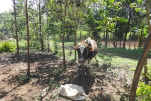 The Water Project: Mahira Community, Jairus Mwera Spring -  A Cow In The Shade