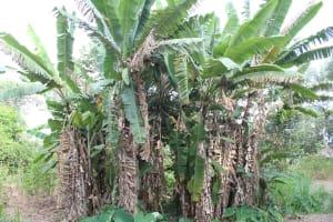 The Water Project: Litinye Community, Shivina Spring -  Banana Farming