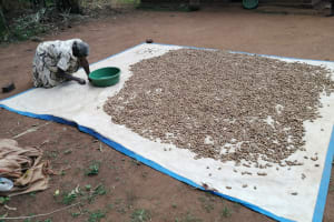 The Water Project: Kinuma Kyarugude Community -  Drying Beans And Groundnuts