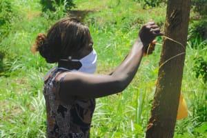The Water Project: Mungakha Community, Asena Spring -  Trainer Lynnah Ties The Leaky Tin To A Tree