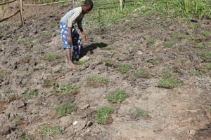 The Water Project: Mukhonje Community, Mausi Spring -  Grass Planting