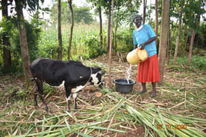 The Water Project: Ataku Community, Ngache Spring -  Catherine Waters Her Animals With Water From Ngache