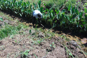 The Water Project: Mukhuyu Community, Chisombe Spring -  Opening The Drainage Channel