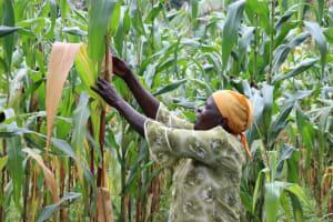 The Water Project: Mushina Community, Shikuku Spring -  Beatrice Checks Her Maize