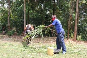 The Water Project: Buhayi Community, Nasichundukha Spring -  Feeding His Cow