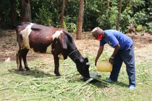 The Water Project: Buhayi Community, Nasichundukha Spring -  Pouring Spring Water For The Cows To Drink