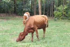 The Water Project: Mahira Community, Anunda Spring -  Cattle Grazing