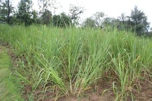 The Water Project: Mahira Community, Anunda Spring -  Sugarcane Plantations
