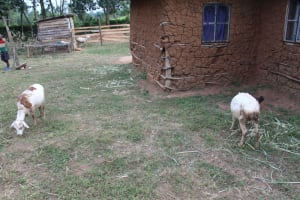 The Water Project: Nguvuli Community, Busuku Spring -  Animals Grazing