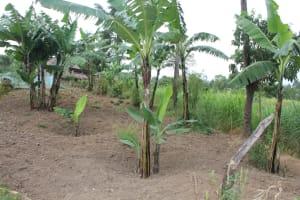 The Water Project: Nguvuli Community, Busuku Spring -  Banana Farm