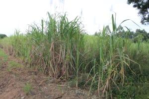 The Water Project: Nguvuli Community, Busuku Spring -  Sugarcane Farm