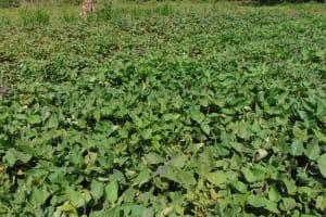 The Water Project: Indulusia Community, Yakobo Spring -  Sweet Potato Farm
