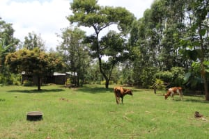The Water Project: Makale Community, Luyingo Spring -  Animals Grazing